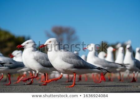 Silver Gulls (Chroicocephalus novaehollandiae) Stock photo © dirkr