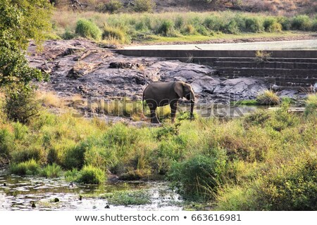 Trunk of an Elephant in the Kruger National Park, South Africa. Stock photo © simoneeman