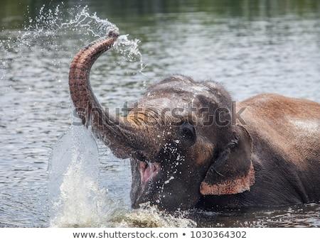Elephants playing with the water. stock photo © simoneeman