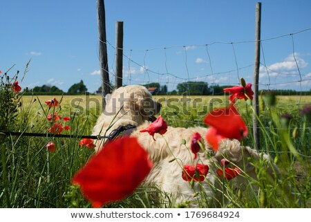 dog standing blooming poppies  Stock photo © OleksandrO