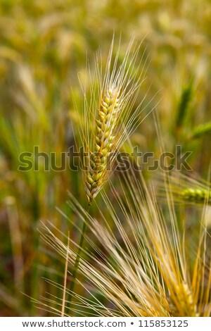 trigo · colheita · pormenor · ver · grão · campo · de · trigo - foto stock © bbbar