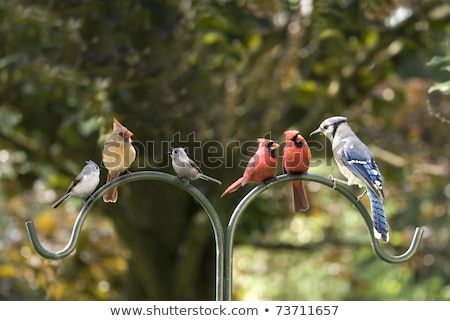 Cardinals Male and Female on a Pole Stock photo © saje