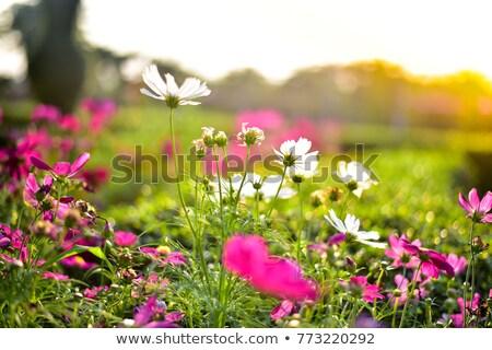 flowering grass in the sun stock photo © dvarg