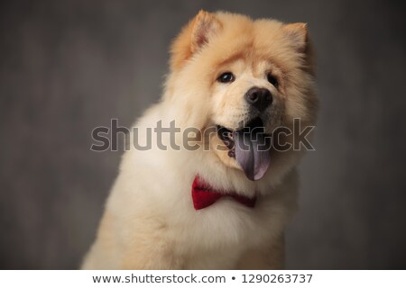 close up of furry chow chow with red bowtie panting stock photo © feedough