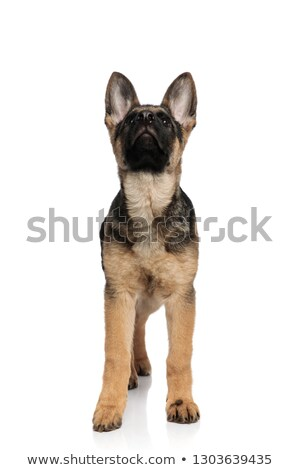 lovely black and white german shepard looks up while standing Stock photo © feedough