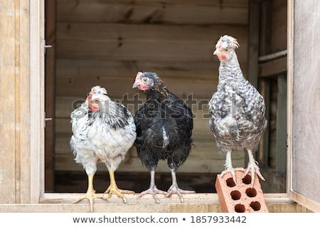 chicks marans in studio Stock photo © cynoclub