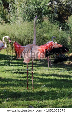 Stock photo: red Flamingo Flower in white back