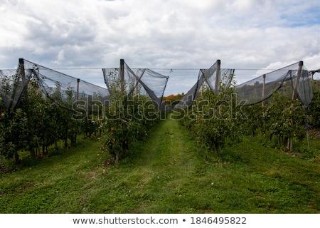 Stockfoto: Appel · plantage · rijp · vruchten · voedsel · natuur