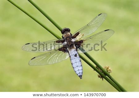 Dragonfly - Broad-bodied Chaser Stock photo © mobi68