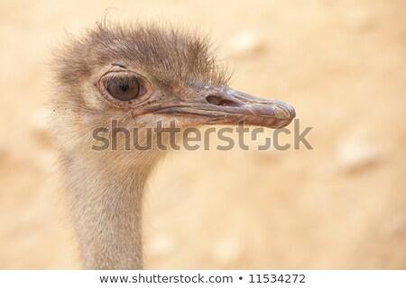 scruffy male ostrich Stock photo © Forgiss
