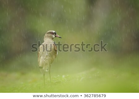 Photo of a southern lapwing bird (vanellus chilensis) Stock photo © dacasdo