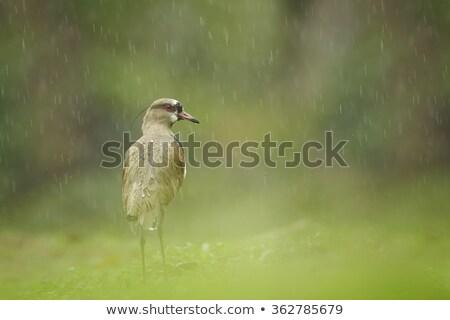 Photo of a southern lapwing bird (vanellus chilensis) Stock photo © dacasdo