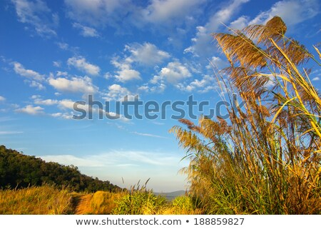 blooming reed with blue sky Stock photo © meinzahn