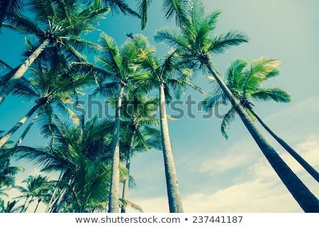 мнение пальмами Blue Sky дерево природы Сток-фото © Elisanth