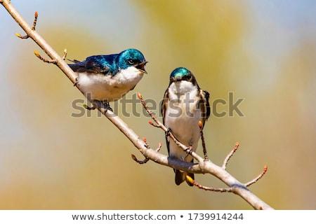 Swallows in spring Stock photo © adrenalina