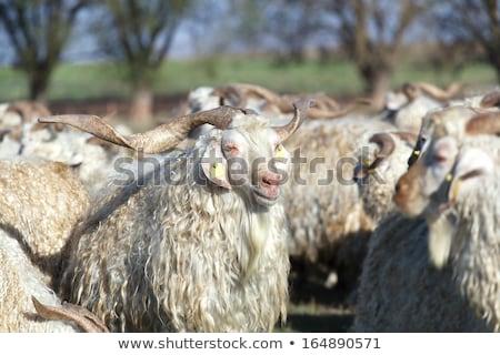 The Angora goat in winter at farm Stock photo © HASLOO