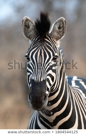 plains zebras stock photo © dirkr