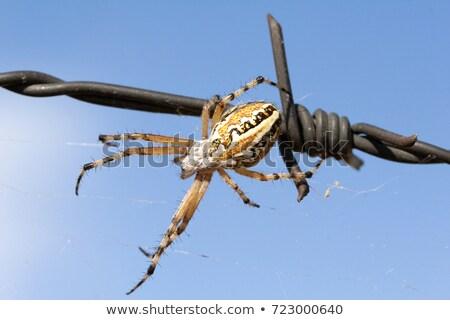 Pók fajok Görögország évszak vadvilág vad Stock fotó © suerob