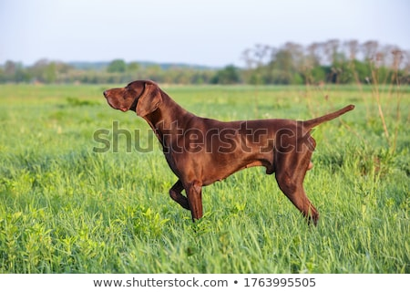 Sporting Pointer dog in field. Stock photo © iofoto