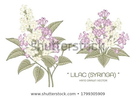 Piękna liliowy kwiaty oddziału odizolowany biały Zdjęcia stock © tetkoren