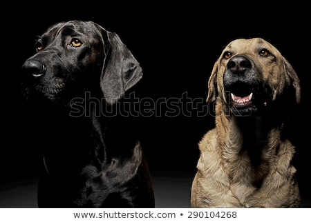 mixed breed brown and black dog with magic eyes portrait in blac Stock photo © vauvau