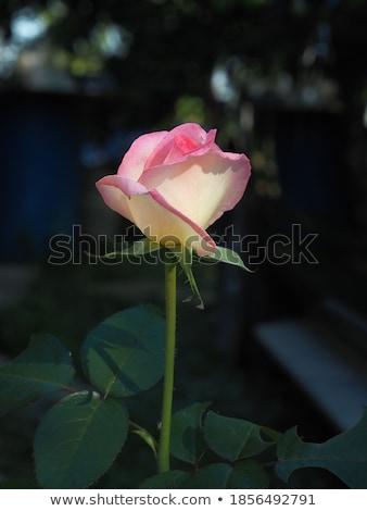 バレンタインデー 心 ピンク 紙 愛 抽象的な ストックフォト © Yatsenko