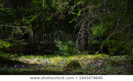 Blooming crocuses on a glade in the forest Stock photo © Kotenko