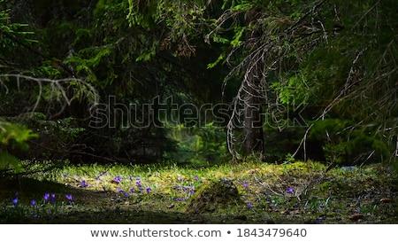 Glade bos eerste lentebloemen berg Stockfoto © Kotenko