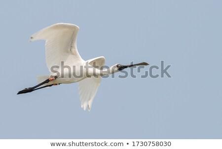 Spoonbill Bird Stock photo © fouroaks