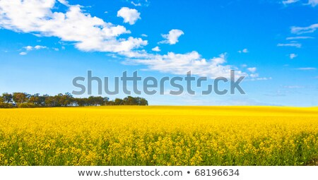 Canola field with dramatic sky and tree Stock photo © lichtmeister