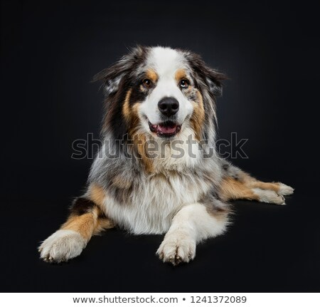 Beautiful adult Australian Shephard dog stock photo © CatchyImages
