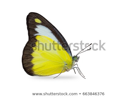 Isolated Butterfly with clipping path Stock photo © Ansonstock