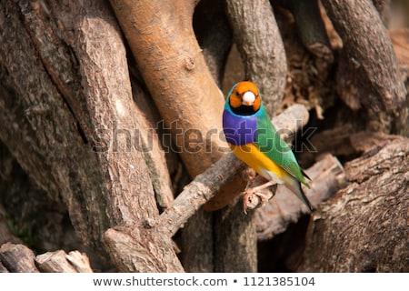 Stok fotoğraf: Avustralya · kırmızı · erkek · kuş · parlak