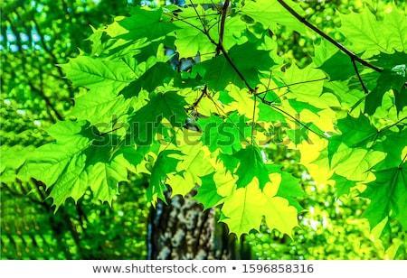 Levelek háttérvilágítás fa fa erdő fény Stock fotó © Arrxxx