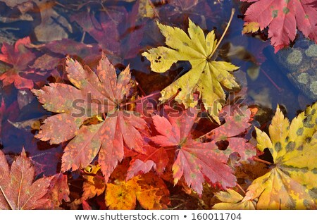 Colorful leaves lying in water Stock photo © wjarek