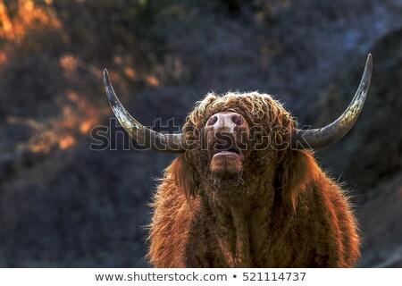 Stock photo: Portrait of a scotish cow