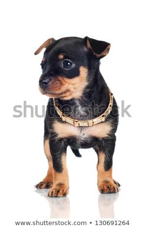 cachorro · pérola · retrato · bonitinho · moda - foto stock © cynoclub