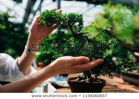 盆栽 木 温室 成長 ストックフォト © ivonnewierink