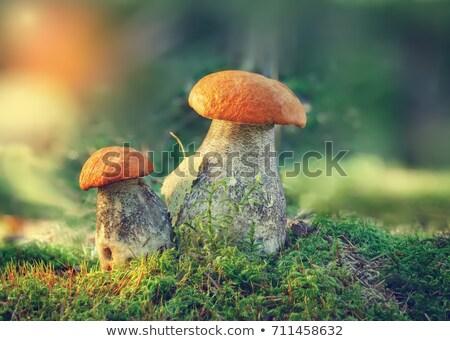 Brun cap cèpes forêt croissant nord Photo stock © pzaxe