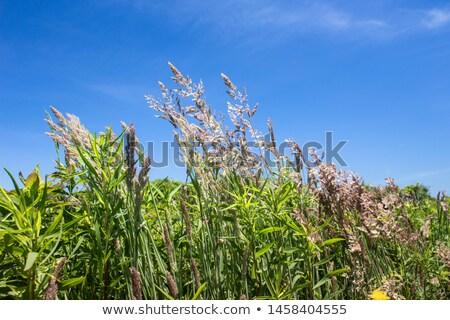 трава · Blue · Sky · фон · зеленый · обои · семени - Сток-фото © byjenjen