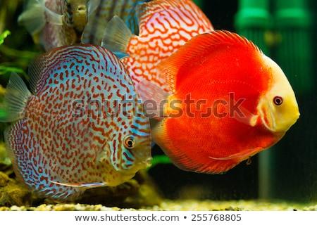 red discus fish Stock photo © Mikko