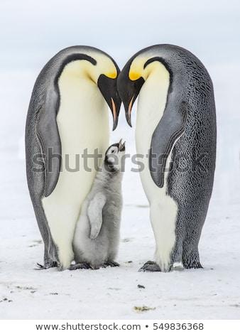 Emperor penguins stock photo © Freezingpictures
