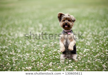 Yorkshire terrier permanent up main jambes Photo stock © fantasticrabbit