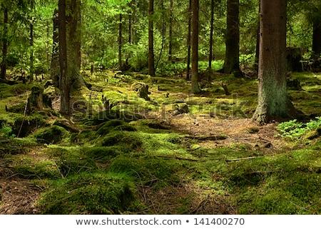 Bos bomen zomer plant jungle park Stockfoto © hanusst
