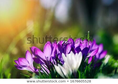 紫色 クロッカス 隠された 葉 花 春 ストックフォト © phila54
