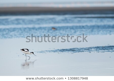 Pied Avocet, Namibia Stock photo © imagex