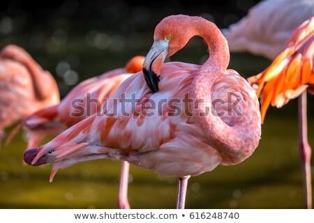 Flamingo Close Up 1 Stock photo © Digoarpi