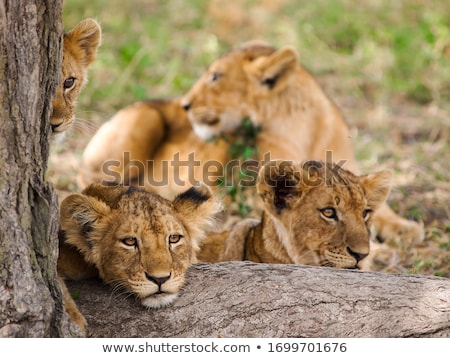 portrait of a young lion stock photo © oleksandro