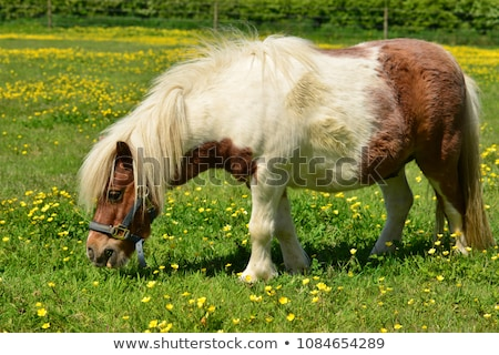 Small pony Stock photo © pavelmidi