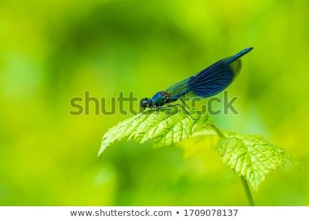 Banded Demoiselle stock photo © suerob